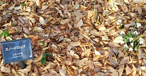 落ち葉の隙間から白いお花