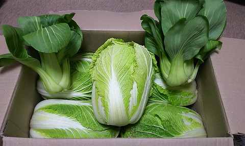 ひな祭りに届いた白菜