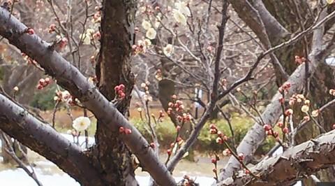 八重野梅のお花