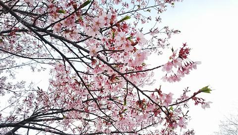 3月24日桜