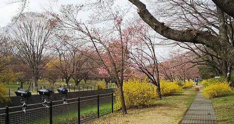 川沿いの桜たち