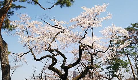 富士森の丘の桜