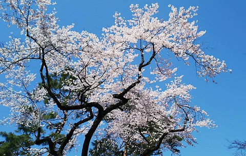 見事な満開の桜