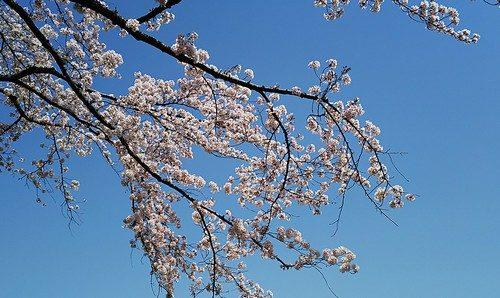 快晴と満開の桜