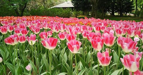 白とピンクのお花畑
