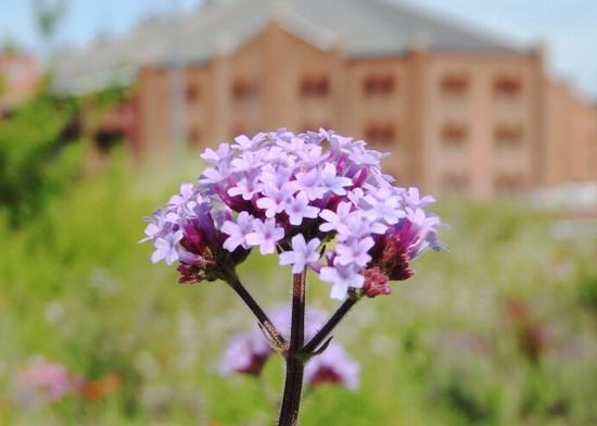 バーベナのお花