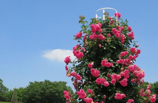 薔薇の香りローズ