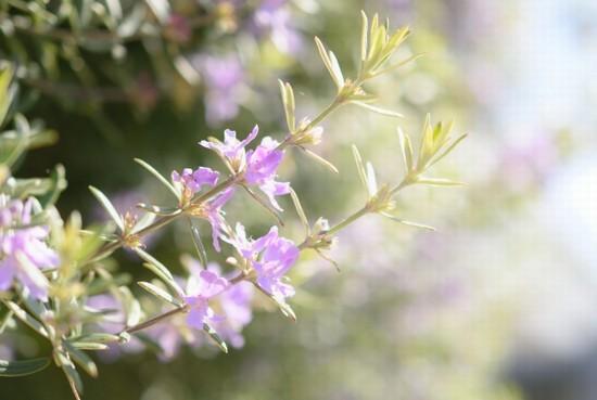 ローズマリーのお花
