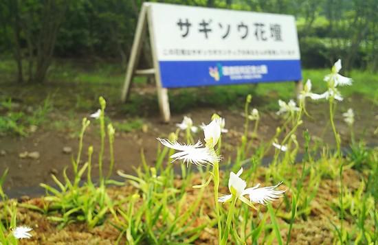 サギソウ花壇