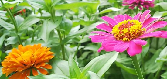 ジニアという花