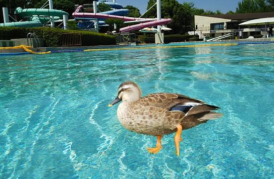 水の上を歩く鴨