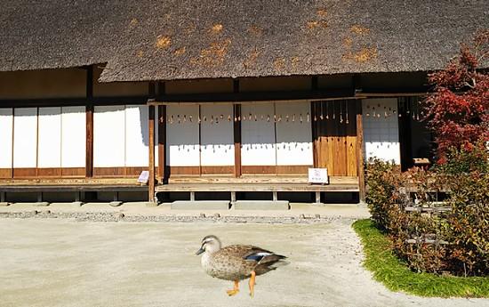 庭を歩く鴨