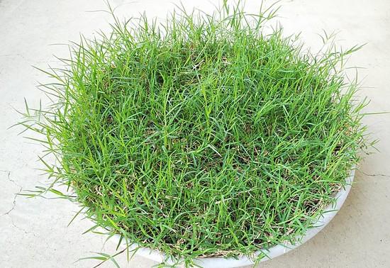 5月後半の芝生