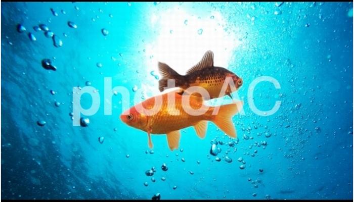 金魚の合成写真を投稿してみた