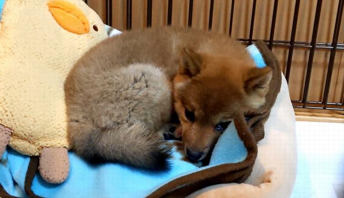 緊張して眠れない子犬の様子