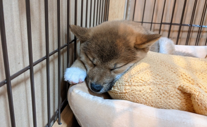 寝顔が可愛い柴犬