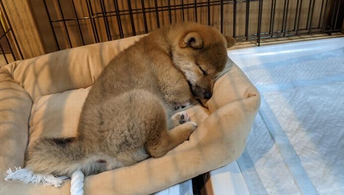 寂しそうに寝ている子犬
